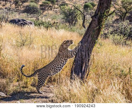 Savannah in Namibia. The concept of exotic and extreme tourism. Gorgeous spotted African leopard sharpens its claws against a tree