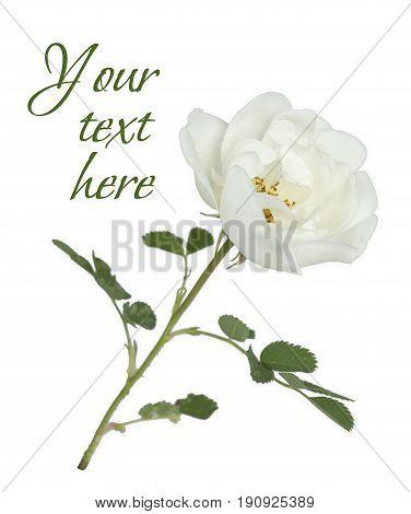one flower white wild rose on a white background