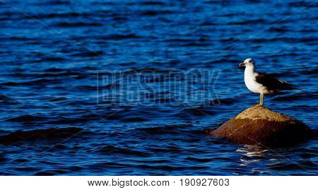 Close up view of Seagull. Seagull standing on the rock.