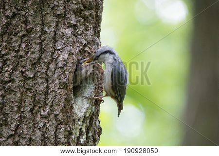 Bird Nuthatch feeds young hungry nestling from beak to beak. Wild nature scene of spring forest life