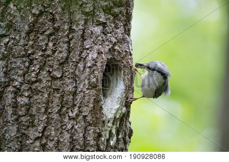 Wood nuthatch brought food for chicks in beak. Bird family takes care of nestlings and protects their nest in hollow of the oak