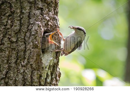 Hungry nestling ask for food from his parent. Wood nuthatch bring food for chicks in beak