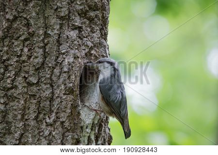 Nuthatch near the nest in wood hollow. Forest bird on green background