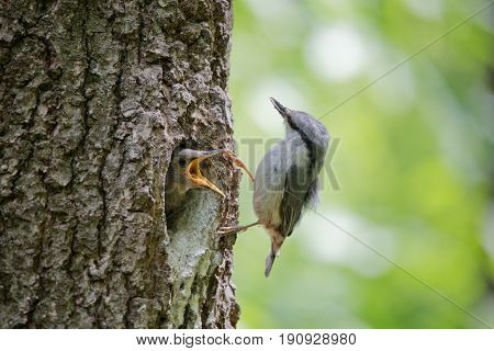 Always hungry nestling ask for food from his parent. Adult bird Wood nuthatch or Sitta europaea near the nest in hollow of the oak