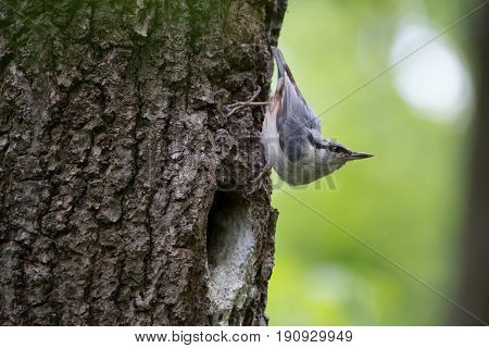 Nuthatch characteristically bends when stop to look around. Passerine bird Sitta europaea on green background