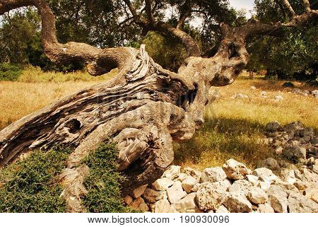 An olive tree with a particular form