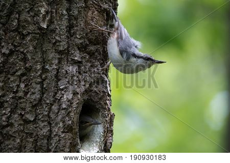 Forest bird Nuthatch look around guards the nestlings. Passerine bird Sitta europaea near the nest on green background