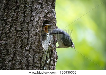 Bird Nuthatch removes litter from the nest. Happy parents of bird family doing their job