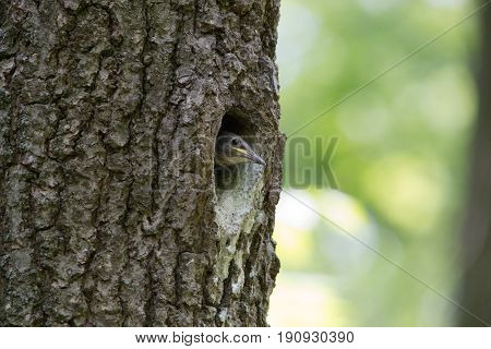 Nestling Eurasian nuthatch or Wood nuthatch in hollow. Forest passerine bird Sitta europaea