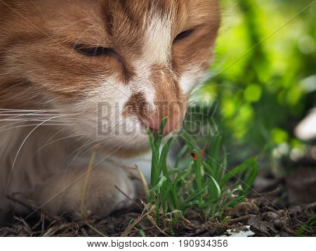 The cat sniffs the grass. The blade of grass crawling tick encephalitis. A dangerous insect a carrier of the disease
