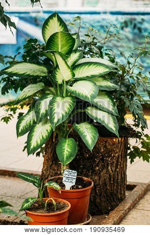 Dieffenbachia Seguine Or Dumbcane, Is A Species Of Dieffenbachia Native To The Tropical Americas - from Southern Mexico, Through Central America, To Northern South America And Brazil.