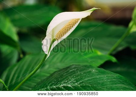 Green Leaves Of Plant Flower Spathiphyllum. It Is A Genus Of About 40 Species Of Monocotyledonous Flowering Plants In Family Araceae, Native To Tropical Regions Of The Americas And Southeastern Asia