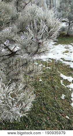 In a winter snow park a green pine branch in a frost