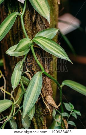 Green Leaves Of Plant Vanilla Planifolia Jacks Ex Andrews. It Is Native To Mexico And Central America, And Is One Of The Primary Sources For Vanilla Flavouring, Due To Its High Vanillin Content.
