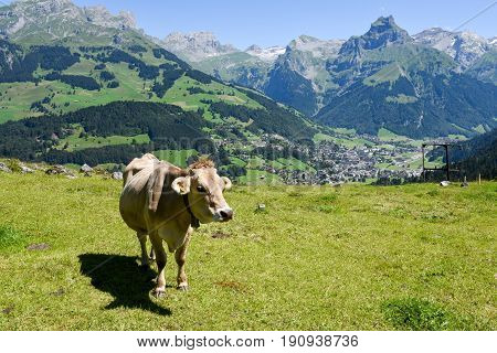 Brown Cow In The Alpine Meadow At Engelberg