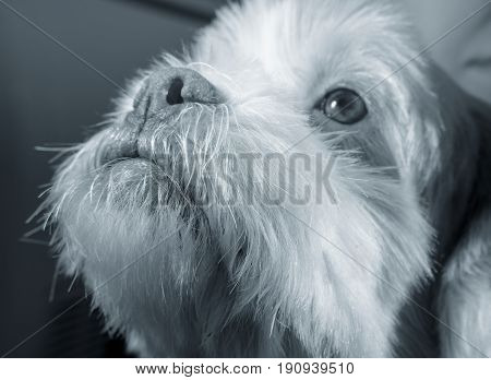 White Lhasa Apso Dog Looking Up As If Asking For Something