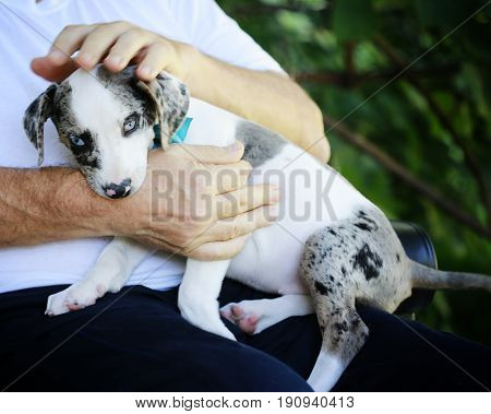 Kind hands. Man holding Catahoula leopard puppy-adoption contest