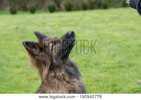 Big Dog Looking Up At His Handler For A Command