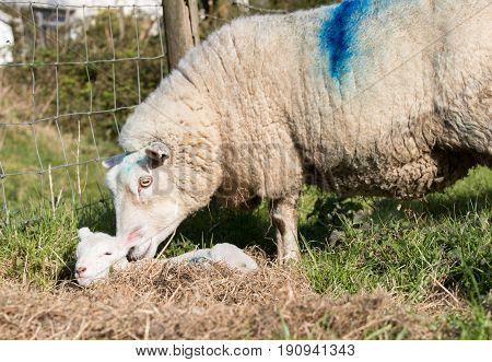 Mother Ewe Nurses Her Lamb Outside In A Farmer Field