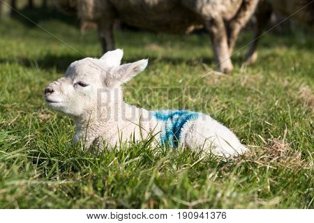 Young Lamb Laid Down On Grass Outside In Uk Farm