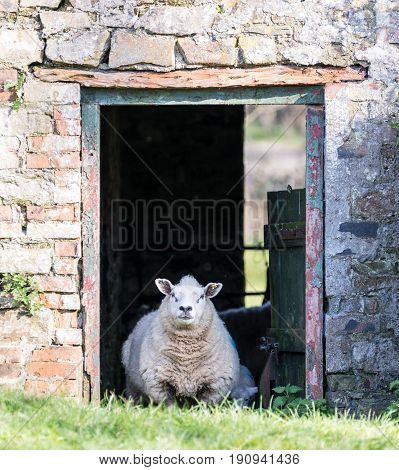Sheep In The Doorway Of An Old Farm Barn