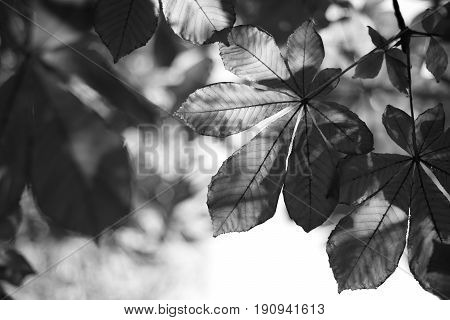 Black white photo with the leaves of chestnut.Sheets on clearance