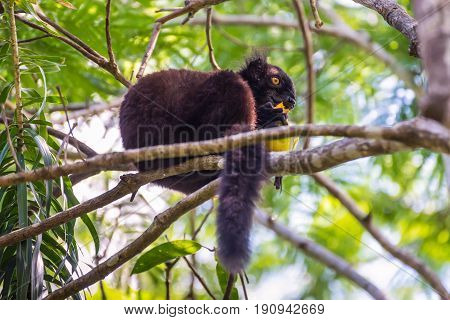 Close up portrait of black Lemur eating mango on Lokobe Strict Nature Reserve in Nosy Be Madagascar Africa
