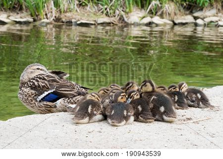 Mother duck and cute ducklings resting on the shoreline by the green water
