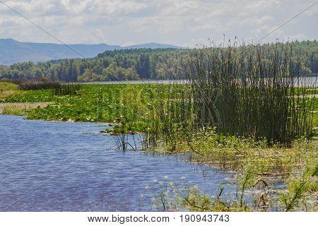 White Water Lily In The Romanian Danube Delta