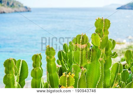Green prickly pear (Opuntia) in the backlight against the blue sea close-up. Back background blurred
