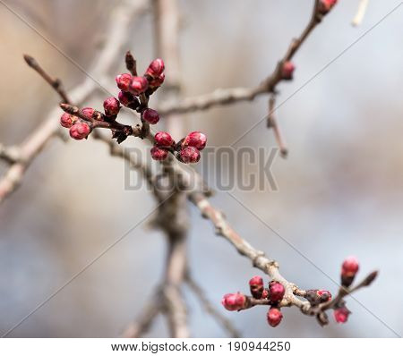 swollen buds with flowers on a tree in spring .