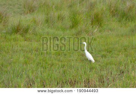 White heron bird in swamp