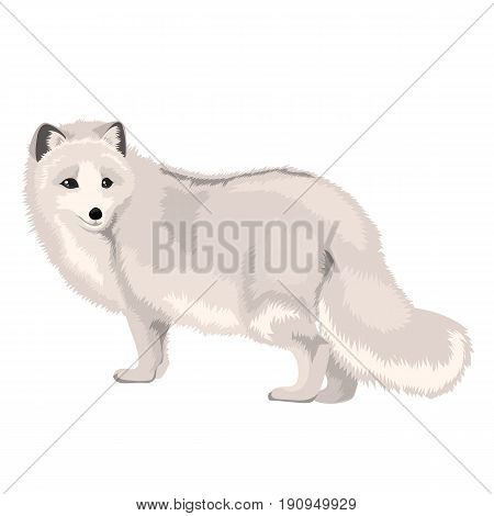 Vector illustration of arctic fox isolated on a white background
