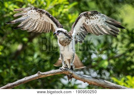 Young Australian Osprey with spead wings on an old dead branch