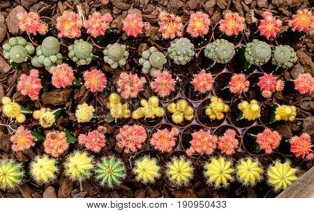 Group of small decorative cactus Background texture