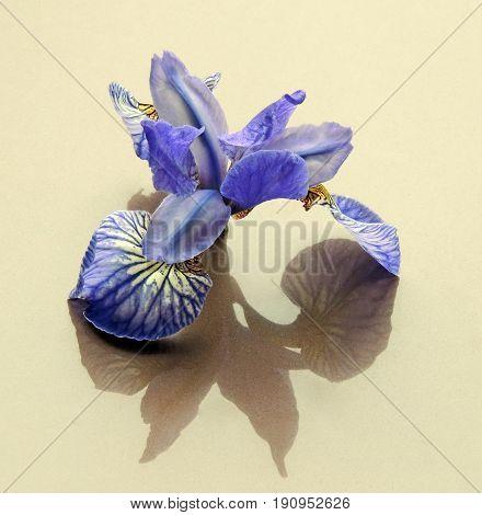 Flowers cut flowers buds irises blue shadow reflection color reflex  petal veins streaks