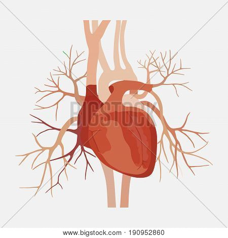 anatomy of the human heart heart medical science the atria and ventricles aorta valve and vein education anoatomii internal organs flat design