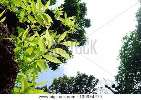 Mahogany teree leaf green forest summer garden