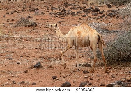 Camels and dromedaries in the north of kenya
