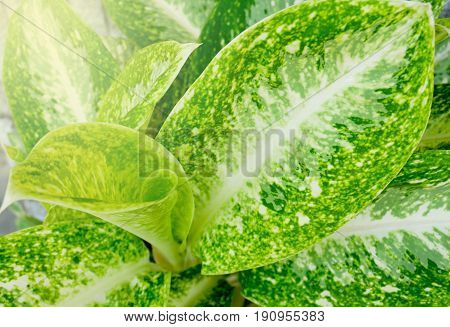 Green leaf texture. Fresh green Dieffenbachia plant in nature garden. Can be use for natural background concept.