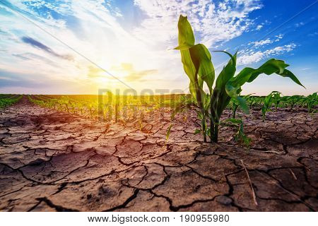Young corn growing in dry environment drought season on maize crop plantation