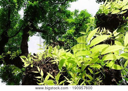 Mahogany teree leaf green forest nature outdoor