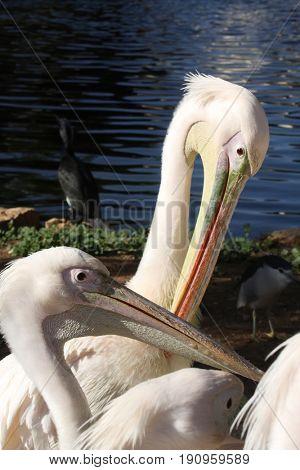 Pelicans in Safari in Ramat Gan