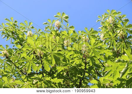 Chestnut tree Chromakey. Blooming chestnut. Swaying Branches Inflorescence chestnut. Chroma Key Alfa Sunny day. The branches of the chestnut tree with flowers and green leaves blue sky blue