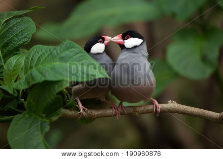 Java sparrow (Lonchura oryzivora), also known as the Java finch or Java rice sparrow.