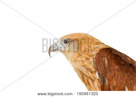 Close up portrait of a red tailed hawk isolate white background. .