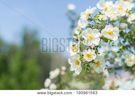 Bush of white roses on a background of blue sky. Floral background with space for text. Beautiful white roses. Selective focus
