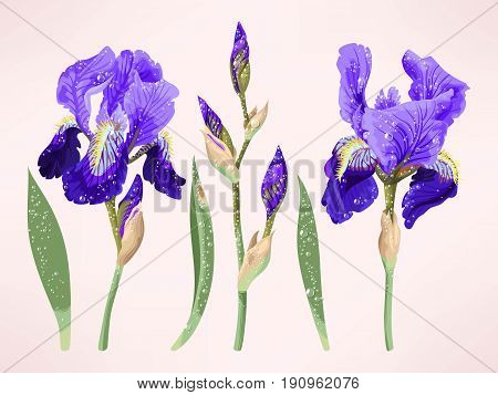 Vector set of iris flowers, buds and leaves with droplets
