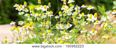 White uncultivated daisy flower field banner with copy space, place for text