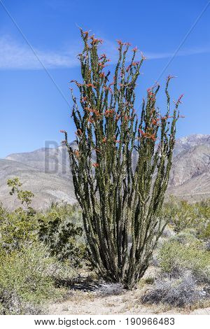 Ocotillo  Flowering In Anza-borrego State Park, California